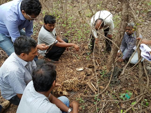 The mutilated carcass of a four-year-old female leopard recovered by forest department officials near Jay Malhar sets at Film City in Goregaon on Friday.