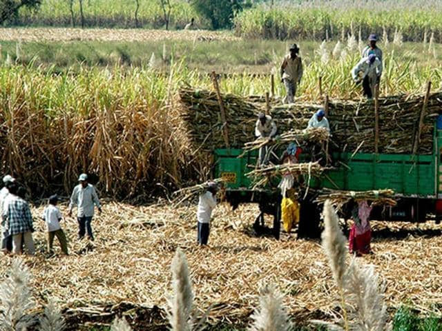 In 2016, sugarcane has been sown on 63,000 hectares of land by around 50,000 farmers in the Narsinghpur district.