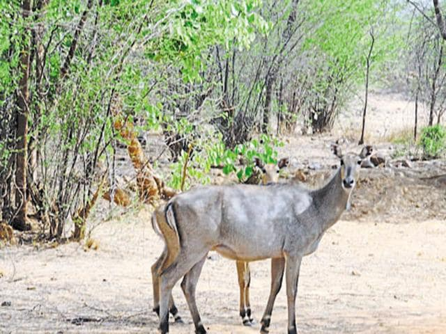 Two blue bulls (nilgai) can be seen at the Mangar village in Gurgaon. The Centre's decisions to classify -- on state governments' request -- the animals as vermin put the spotlight back on conservation challenges.