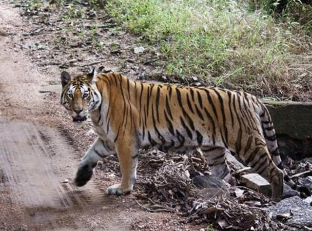Tiger,Tiger Census,Attapatti village