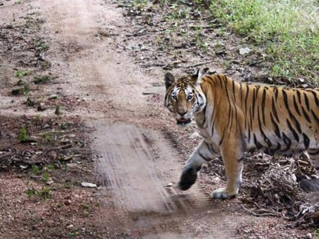 MP forest department,man-tiger conflict,tiger attack