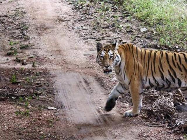 Baiga tribals of Narangli village in Khatiya range have borne the brunt of tiger attacks.