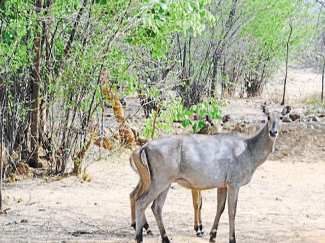 The Centre has decided to legalise killing of nilgai and wild boars, if they cause crop damage.