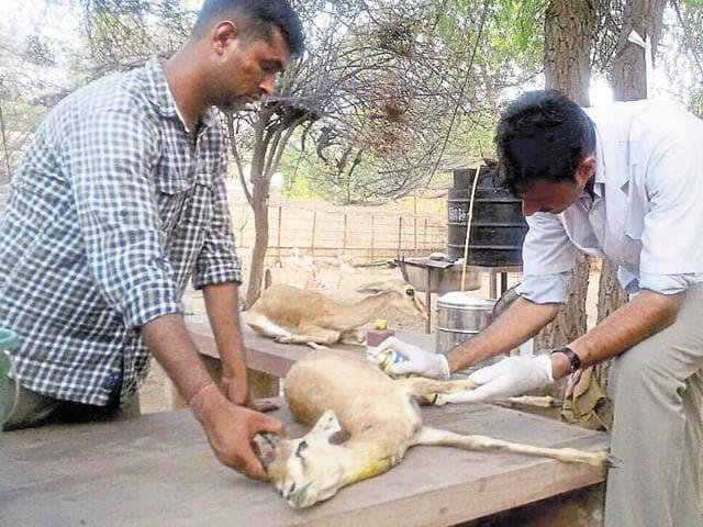 Chinkaras being treated at Jodhpur's Wildlife Rescue Centre on Wednesday.