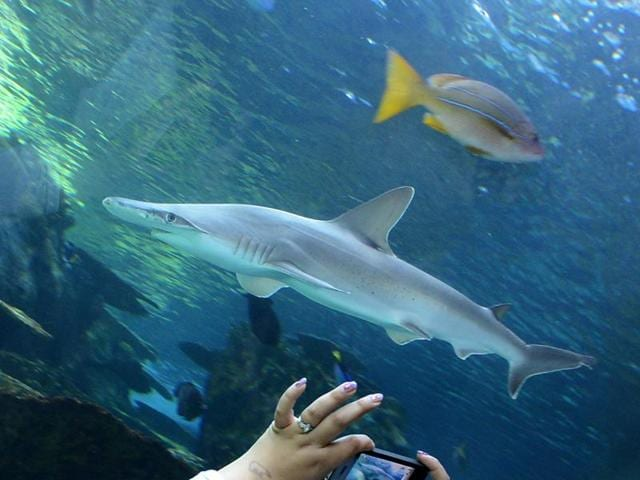 A visitor taking pictures a Whitetip Reef shark at the Aquarium of the Pacific in Long Beach, California.