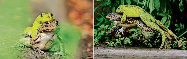 (Left) Indian bullfrogs mating; (right) female jumps after a pup disrupts mating.