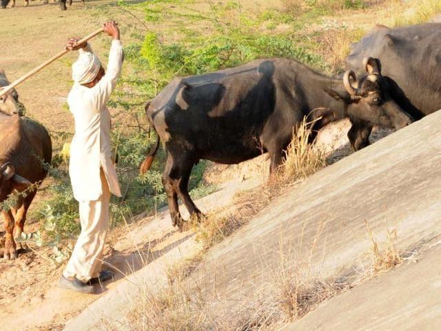 INdore buffalo