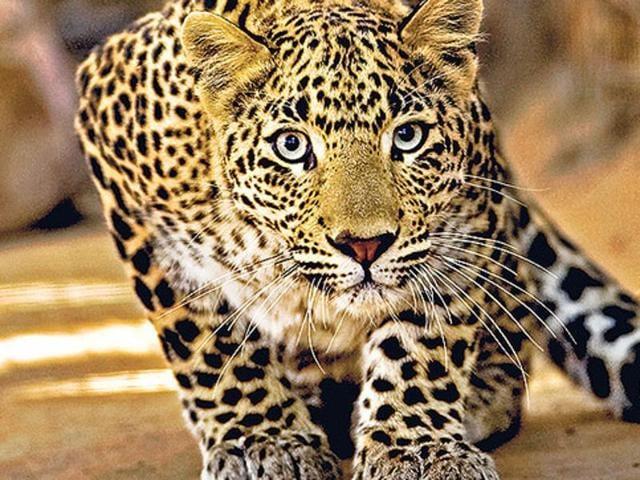 Leopard,Gujarat,Botad district