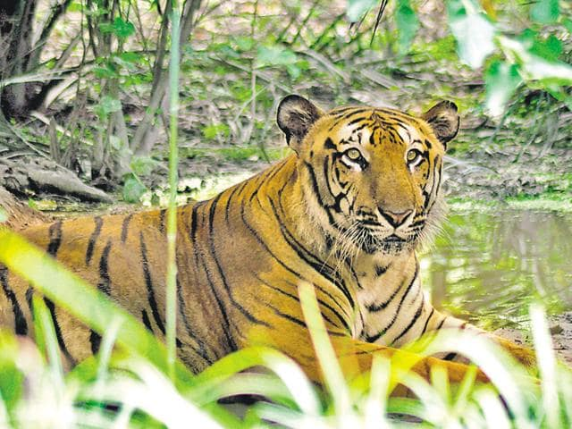 There are only two male tigers - Deepak (15) and Money (15 years, six months) - at the safari. They are let out in open on rotation, as they fight.