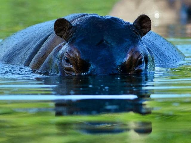 A hippo is seen at the Hacienda Napoles theme park, once the private zoo of drug kingpin Pablo Escobar at his Napoles ranch, in Doradal, Antioquia department, Colombia.
