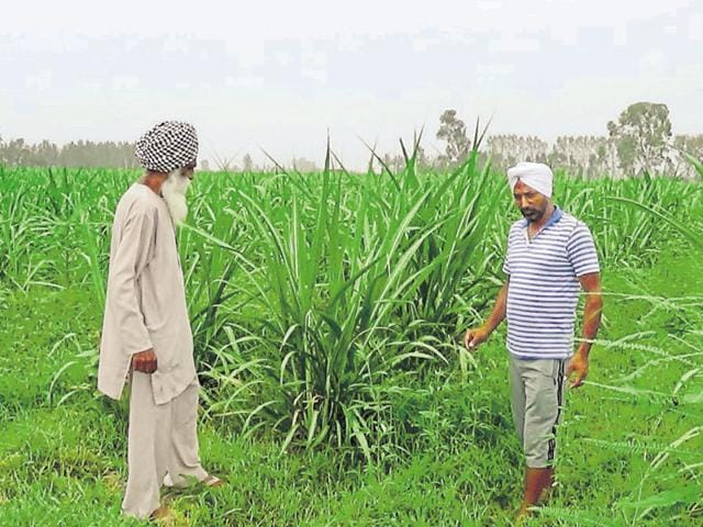 Avtar Singh and his son Amarjeet Singh who adopted organic farming showing their crop in Charkey village in Jalandhar.