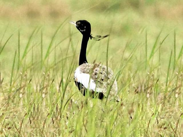 Lesser Florican,Lesser Florican spotted in MP,Sailana Bird Sanctuary