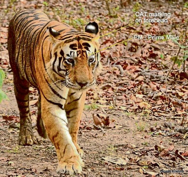 Wildlife experts feel that Munna is going for easy kills like cattle because of his advancing age.