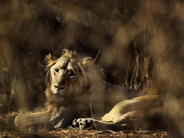 Madhya Pradesh tigers,gujarat lions,Bagh Dev