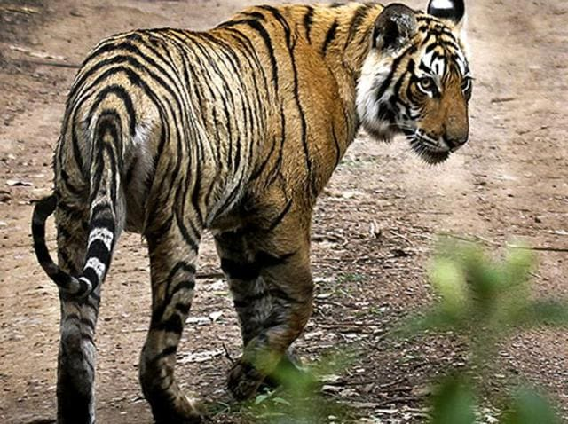 Tiger population,Project Tiger,Palamu Tiger reserve