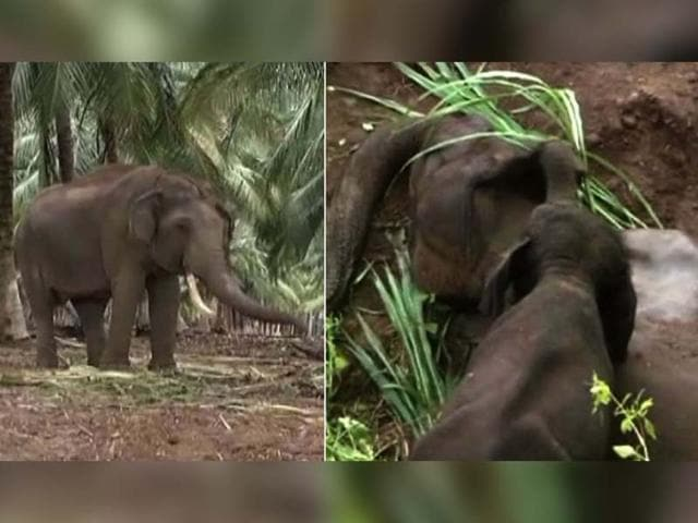 The two-year-old baby elephant returned to the spot where its mother was buried yesterday. The disappointed calf attacked a goat and a cow in a nearby village and was chased back deep inside the forest. A day earlier, a video showing the baby elephant calf prodding its dead mother with its trunk went viral.