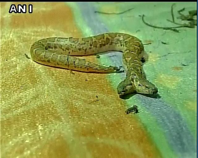 two-headed snake,Saint Boa