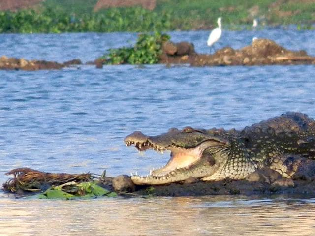 The number of crocodiles in the 6.61-sq-km artificial lake is not known because there has never been an official census. However, according to the MSAA, there are 40 crocodiles in the lake