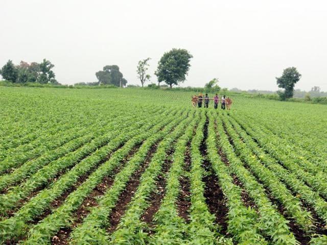 rain hits soybean crop in MP,soybean crop,flood in MP