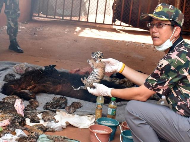A dead tiger cub is held up by a Thai official after authorities found 30 tiger cub carcasses during a raid on the controversial Tiger Temple.