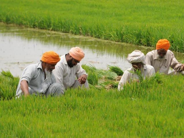 GM crops,Greenpeace,Golden Rice