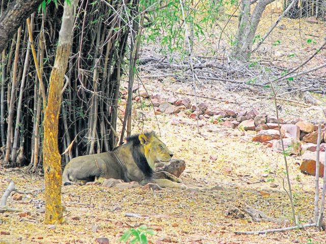 India's oldest lion in captivity dies
