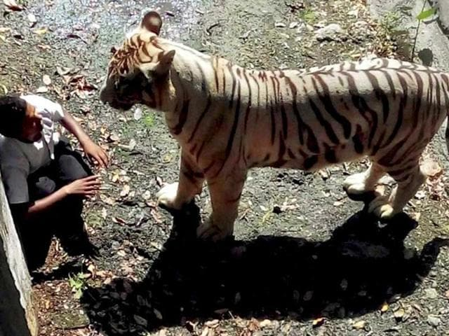 A white tiger had attacked and killed a boy who appeared to have jumped into its enclosure at the zoo in New Delhi.