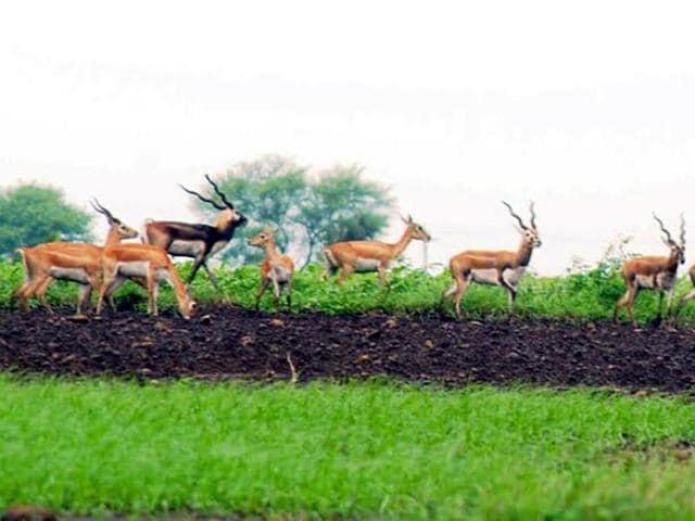 A herd of blackbucks grazing on open field in Shajapur area.
