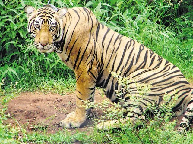 Man-animal conflict,Chandrapur,Vidarbha
