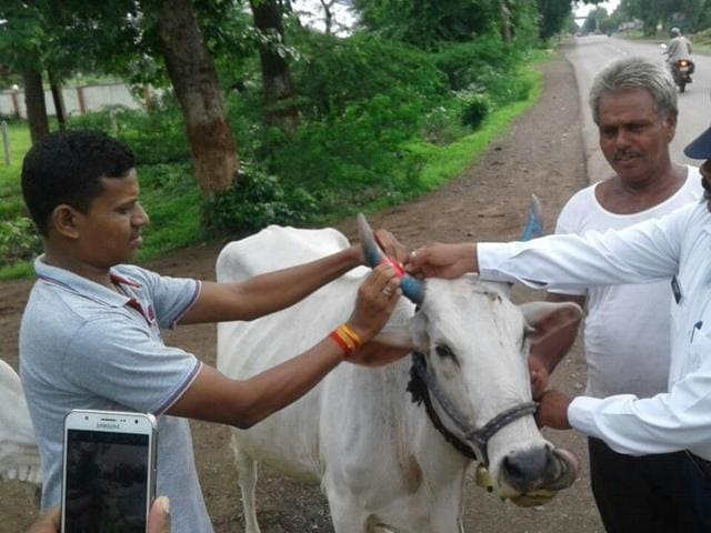 Traffic police stick radium tape on the horn of a cow.