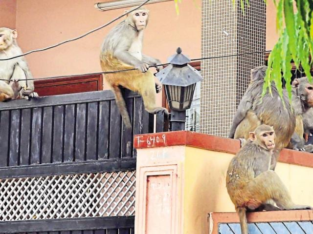 Monkeys have become a menace at residential areas of Greater Noida. The residents claim that they have time and again requested the authorities about the problem but nothing has been done so far.