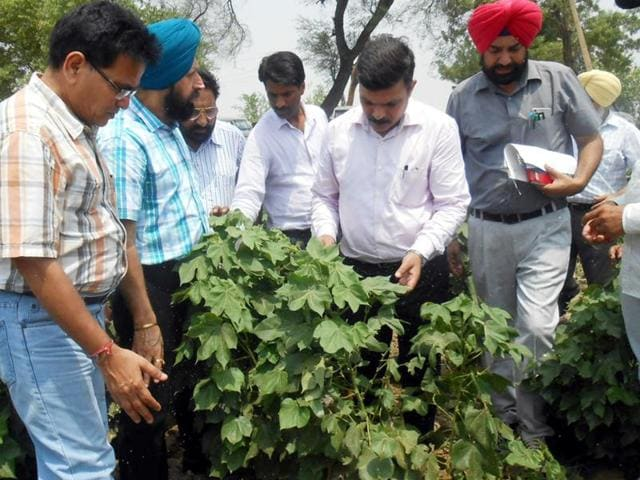 Experts inspecting cotton crop in Fazilka on Friday.