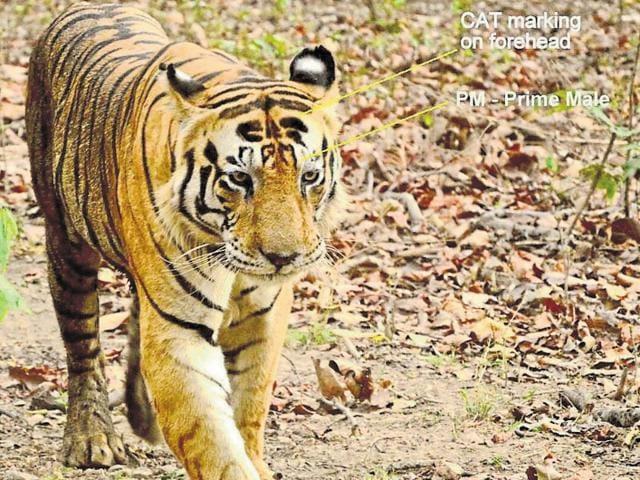 tiger deaths in Madhya Pradesh,Pench Tiger Reserve,tiger dies in Pench Tiger Reserve