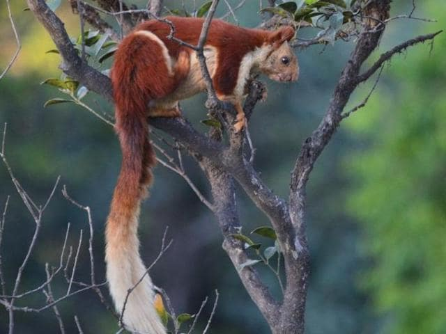 The Indian Giant Squirrel, or shekru.