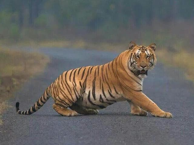 Forest officials told HT on Wednesday that pug marks of a large tiger found 30km away from the sanctuary towards Pauni Betala village in Bhandara district on Tuesday could be of Jai