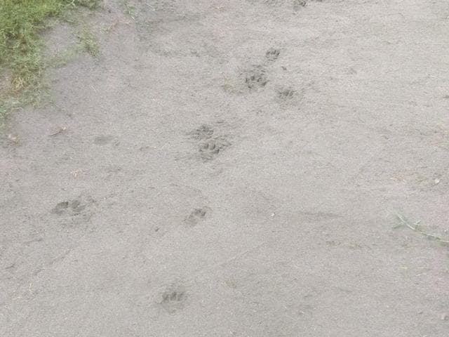 The dog's footmarks mistaken for leopard pugmarks at the Chandigarh Golf Club's 9th hole bunker.