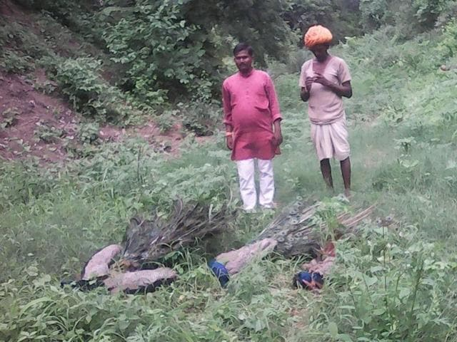 More than one-and-a-half dozen peacocks were found dead in different parts of Petlawad tehsil of Jhabua district.