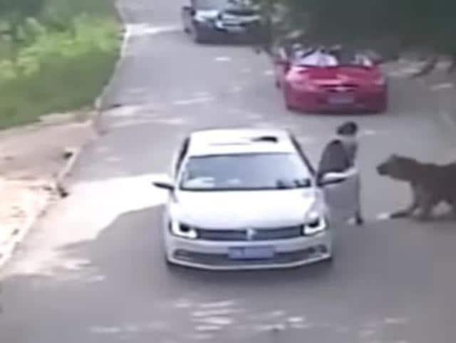 china tiger kills woman,Video China tiger kills woman,Beijing Badaling Wildlife World