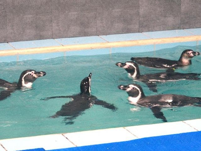 Humboldt penguins,zoo,Byculla