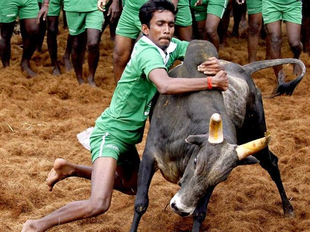 Participants attempt to tame a bull during a Jallikattu festival near Madurai. Animal rights activists have moved the court to ban the sport, citing it is inhuman to subject the animals to it. Pro-Jallikattu activists say the animal is never harmed during the game.