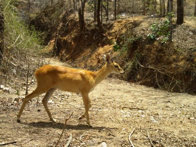 The four-horned antelope, or chousingha, is a small antelope found in India and Nepal. This antelope has four horns, which distinguish it from most other bovids, which have two horns. One pair of horns is located between the ears, and the other on the forehead.