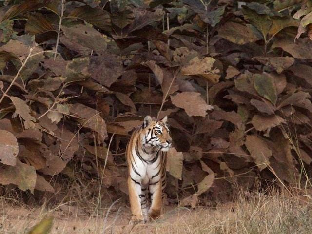 International Tiger Day is held annually on July 29 to give worldwide attention to the reservation of tigers. The day is dedicated to both raising awareness day and as a celebration.  (Santosh Harhare/HT PHOTO)