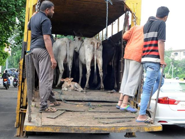 Stray cows seized by the Bhopal Municipal Corporation in Shivaji Nagar area on Thursday.(Praveen Bajpai/HT photo)