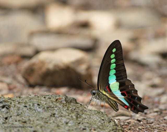 Out of 92 species of butterflies that can be spotted in Delhi, Painted Lady, Indian Fritillary, Indian Red Flash, Common Blue Bottle and Tawny Coaster are rare.