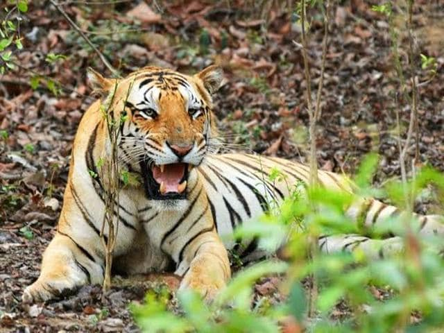 Jai tiger,Jai the tiger from Nagpur,Devendra Fadnavis