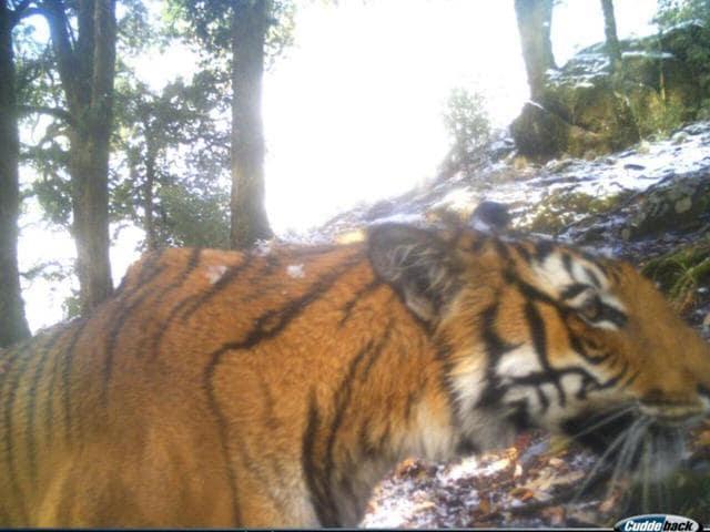 Uttarakhand wildlife,Tiger sighting,Climate change
