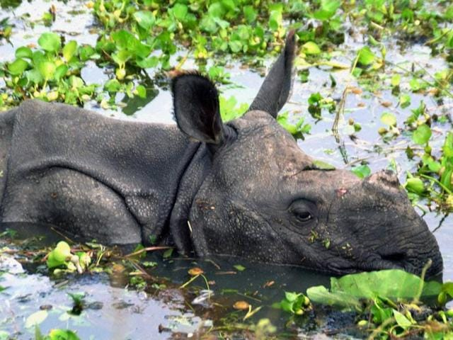 A young one-horned rhino trying to rise above water on the National Highway from the flooded grassland in Kothari village near Kaziranga National Park in Nagaon district of Assam.