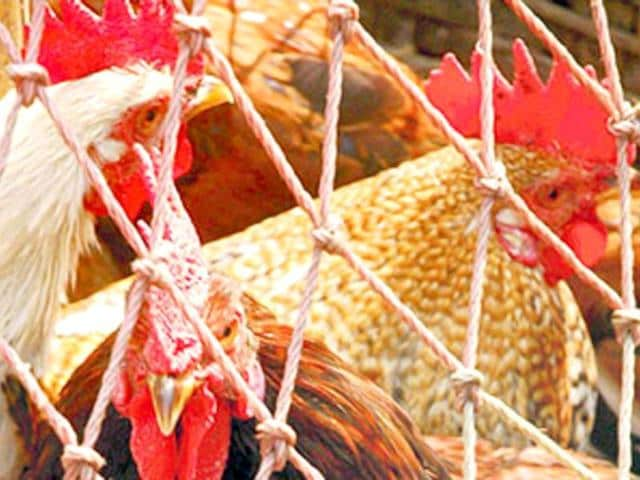 According to the Animal Welfare Board of India, hens were kept in overcrowded wire-cages that have little room for movement.