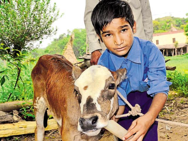 Baljit Singh force-feeds the orphaned calf at Choti Nagal, 15 km from Chandigarh.