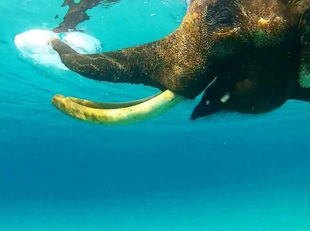 Rajan, the legendary swimming elephant of the Andaman Islands, swimming in the water of the Bay of Bengal.